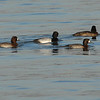 Lesser Scaup, Male & Females
