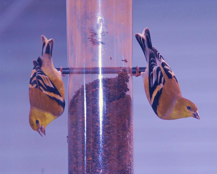 American Goldfinchs