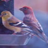 American Goldfinch & House Finch