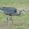 Great Blue Heron, Frog Hunting