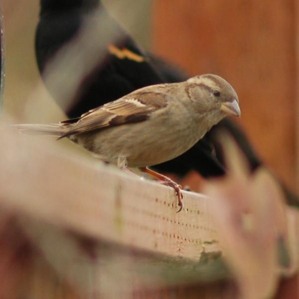 House Sparrow, Female