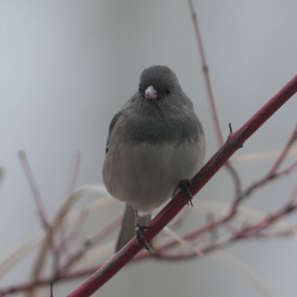 Dark -eyed Junco