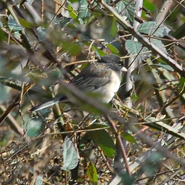 "Dark-eyed ""Oregon"" Junco Male"