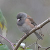 "Dark-eyed ""Oregon"" Junco Female"