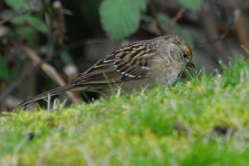 Golden-crowned sparrow, Female