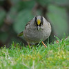 Golden-crowned sparrow, Male