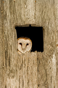 This Barn Owl is peering out of a nest box which was installed several years ago by the Indiana Department of Natural Resources.  Two owls were present on the evening of June 18, 2011.  This was my #297 photographed bird species within the state of Indiana.  Daviess County, Indiana.