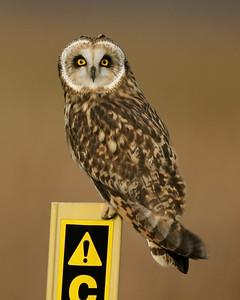 Short-eared Owl, Vermillion County, Indiana, December 14, 2007.