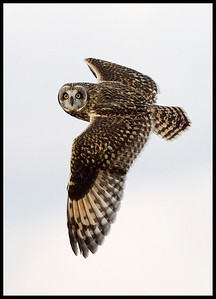 Short-eared Owl, Chinook Mine north of I-70, Clay County, Indiana, December 4, 2008.