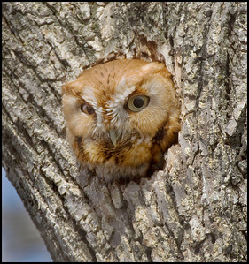 Eastern Screech Owl (Red Phase), Blackburn property, Northern Vigo County, Indiana, March 2009.