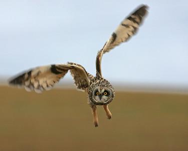 Short-eared Owl, Universal Mine, Vermillion County, Indiana, January 5, 2007.