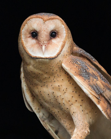 Barn Owl, Typical Owls - All eight expected species in Indiana have been photographed