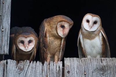 Barn Owl, Daviess County, Indiana, June 12, 2013.