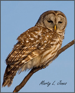 Barred Owl found while driving home from work at 4:50 p.m. Feb 4, 2009.  It was perched in a small tree alongside Thorpe Ford Covered Bridge/Big Raccoon Creek on Parke County Road 900 South.  N.E. of Rosedale, Indiana.