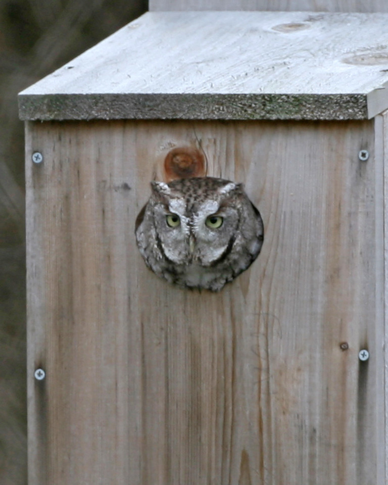 Eastern Screech-Owl, Kingsbury State Fish and Wildlife Area, December 5, 2006.