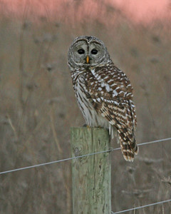 Barn Owl, Typical Owls - All eight expected species in