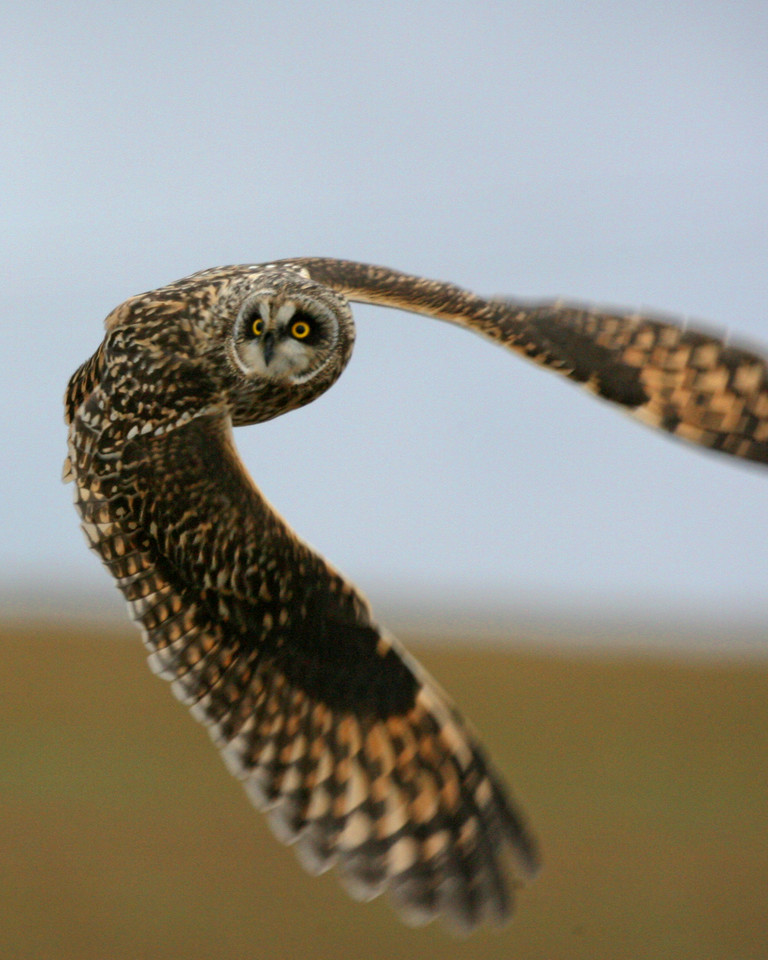 Short-eared Owl, Universal Mine, Vermillion County, Indiana, January 5, 2007.