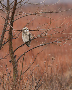 Short-eared Owl, Universal Mine, Vermillion County, Indiana, January, 5, 2007.