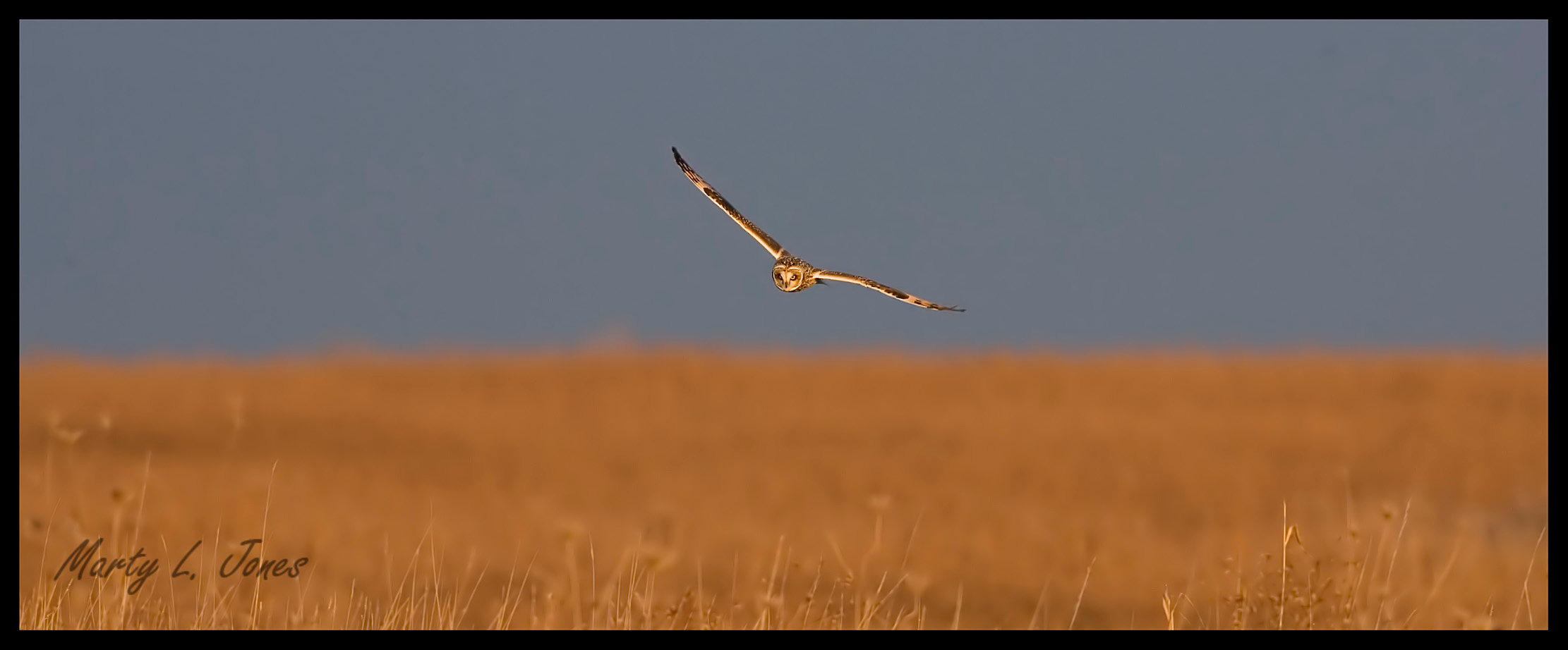 Short-eared Owl flying over reclaimed Chinook Mine grasslands, Clay County, Indiana, December 5, 2008.