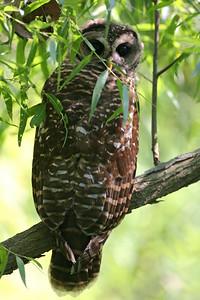 Barred Owl, Minnehaha FWA, Sulivan County, Indiana, June 21, 2007.