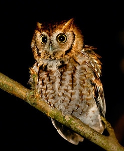 Eastern Screech Owl, Wabashiki, West Terre Haute, Indiana, Dec 27, 2009.