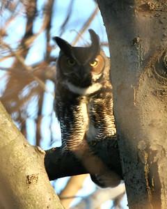 Great Horned Owl, Universal Mine, January 27, 2007.