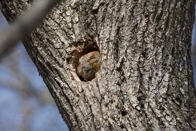 Eastern Screech Owl (Red Phase), Blackburn property, Northern Vigo County, Indiana, March, 2009.  Tree cavity is about 30 feet above the ground.