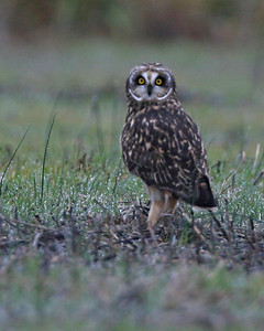 Short-eared Owl, Chinook Mine North, November 7, 2006 at 5:30 pm; weather was 50's and overcast.  There was at least one more Short-eared Owl standing about 50 yards away.  Either three N. Harriers or short-eared owls were also flying nearby as I approached the area.  See map for photo location.
