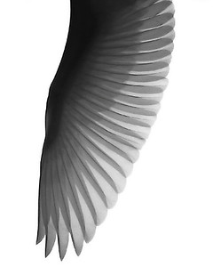 Great Egret Wing