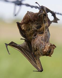 Bat impaled on barbed wire/Loggerhead Shrike?