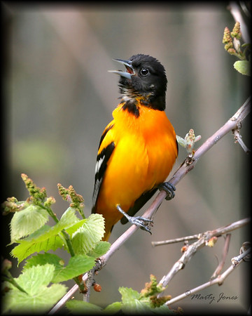 Blackbirds, Orioles - All eleven species expected in Indiana have been photographed