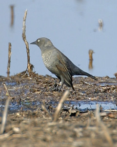 Rusty Blackbird, The Burn, Montgomery County, Indiana, April 15, 2006.