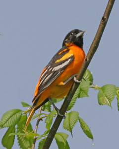 Baltimore Oriole, Shades State Park, Montgomery County, Indiana, May 4, 2006.