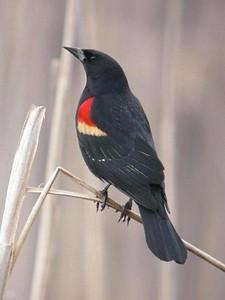 Redwing Blackbird, Hawthorne Park JI Case Wetland, Terre Haute, Indiana, February 29, 2004