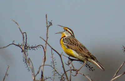 Eastern Meadowlark, Northern Chinook Mine, Vigo County, April 15, 2005.