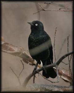 Rusty Blackbird, SW Vigo County Wabash River Bottoms, April 6, 2008.