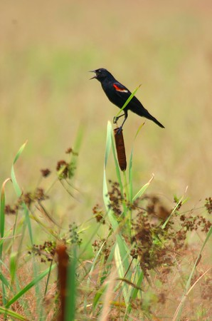 Red Wing Blackbird, Northern Chinook Mine, July 17, 2005.