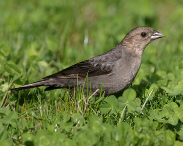 Female Brown-headed Cowbird, Prophetstown State Park, April 17, 2006.