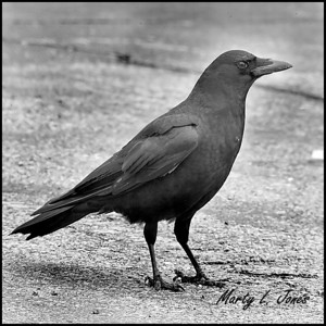 American Crow, Terre Haute, Indiana, January 10, 2009.