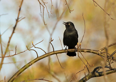 Rusty Blackbird, WIllow Slough FWA, Newton County, Indiana, April 26, 2011.