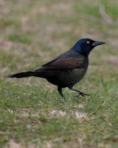 Common Grackle, Clay County, Indiana.  March 21, 2006.