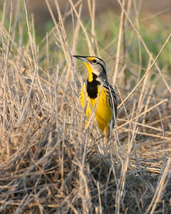 Eastern Meadowlark, Kankakee Sands, Newton County, Indiana, April 17, 2008.