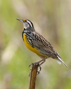 Western Meadowlark, Fulton County, Indiana, May 3, 2006.