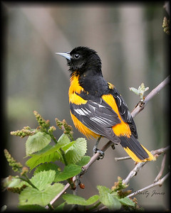 Baltimore Oriole, Highland Lawn Cemetery, May 3, 2008.