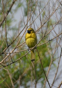 Orchard Oriole, Northern Chinook Mine, April 2005.