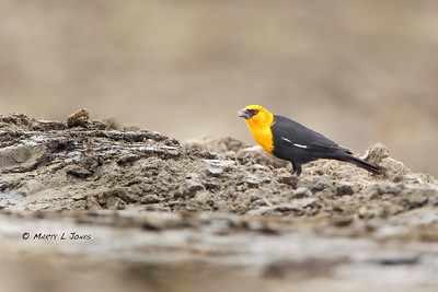 Yellow-headed Blackbird, Lebanon Business Park, Boone County, Indiana, April 18, 2011.  Found by Roger Hedge. #295.