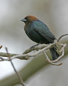 Brown-headed Cowbird, Backyard, Vigo County, Indiana, March 29, 2006.