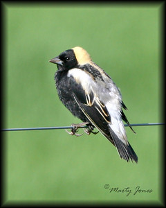 Bobolink, Chinook Mine North, May 3, 2008.