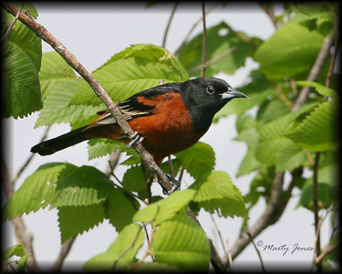 Orchard Oriole, Universal Mine, May 10, 2008.