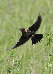 Bobolink, Universal Mine, Vermillion County, Indiana, May 5, 2012.